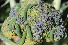 Lagartas que comem brócolis Imagens de Stock