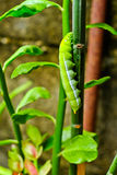 Lagartas verdes Fotos de Stock