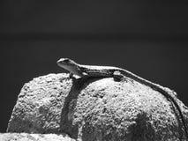 Lagartija Lizard. Lizard on rock (black and white Stock Photography