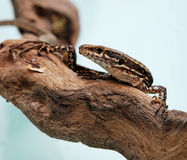 Lagarto Fotos de Stock Royalty Free