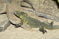 Lagarto africano norte, lagarto do dabb de Bell, acanthinura de Uromastyx Foto de Stock Royalty Free