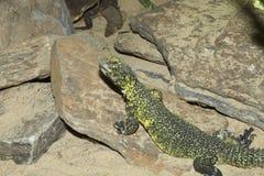 Lagarto africano norte, lagarto do dabb de Bell, Uromastyx fotos de stock royalty free