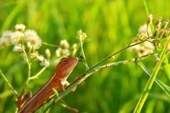 Lagarto asiático do camaleão no ramo da grama imagens de stock