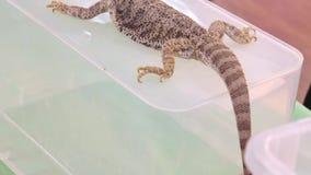 Lagarto australiano barbudo del Agama del dragón que se sienta en una caja plástica metrajes