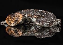 Lagarto australiano do shingleback imagem de stock royalty free