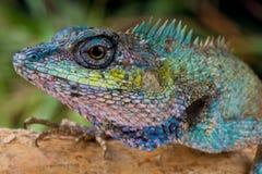 lagarto Azul-con cresta Foto de archivo libre de regalías