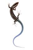 Lagarto azul del skink de la cola Imágenes de archivo libres de regalías