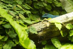 Lagarto azul hermoso fotografía de archivo libre de regalías