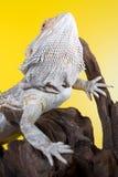 Lagarto barbudo del reptil del dragón en una rama en fondo amarillo Foto de archivo