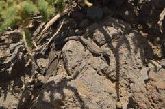 Lagarto bonito com uma cauda infinita no parque nacional de De Taburiente do Caldera Curso, natureza, feriados, geologia 11 de ju imagens de stock