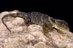 Lagarto botão-escalado Flathead (platyceps do Xenosaurus) imagens de stock royalty free