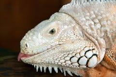 Lagarto branco da iguana Fotografia de Stock Royalty Free