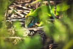 Lagarto brillante esmeralda verde de las salamandras Fotos de archivo