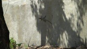 Lagarto cinzento, sentando-se em um muro de cimento video estoque