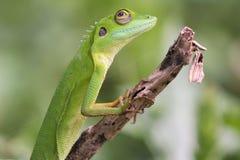 Lagarto con cresta verde   Imagenes de archivo