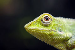 Lagarto con cresta verde Imagen de archivo
