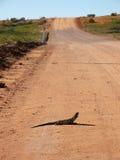 Lagarto da garganta do folho na estrada Fotos de Stock