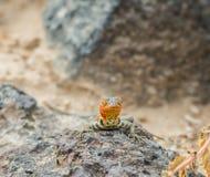 Lagarto da lava de Galápagos fotos de stock