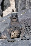 Lagarto da lava na cabeça de uma iguana marinha imagens de stock