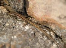 Lagarto de Brown en rocas en verano imagenes de archivo