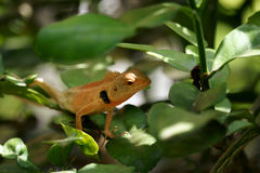 Lagarto de Brown, lagarto de árbol, Foto de archivo
