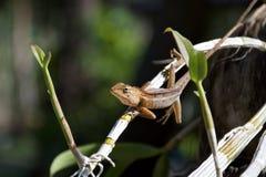 Lagarto de cauda longa tailandês que senta-se em uma haste das orquídeas imagens de stock royalty free