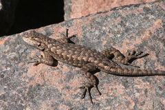 Lagarto de cerca occidental (occidentalis del Sceloporus) Fotos de archivo