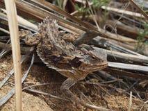 Lagarto de cuernos del desierto meridional foto de archivo