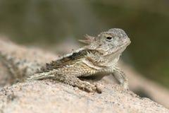 Lagarto de cuernos del desierto (platyrhinos del Phrynosoma) Foto de archivo libre de regalías