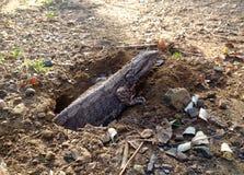 Lagarto de dragão oriental da água da captação rara que coloca ovos no furo na terra Fotos de Stock Royalty Free