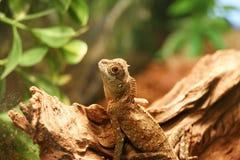 Lagarto de dragón Fotos de archivo libres de regalías