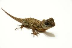 Lagarto de dragón Imagenes de archivo