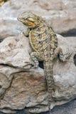 Lagarto de dragón barbudo Fotos de archivo