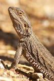 Lagarto de dragón barbudo Foto de archivo libre de regalías