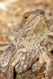 Lagarto de dragón barbudo Fotografía de archivo libre de regalías