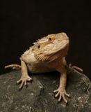 Lagarto de dragón barbudo Imágenes de archivo libres de regalías