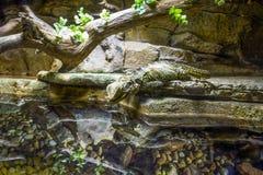 Lagarto de dragón de agua. Fotografía de archivo libre de regalías