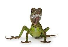 Lagarto de dragón de agua Imagenes de archivo