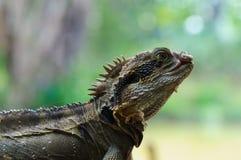 Lagarto de dragón del este de agua fotografía de archivo libre de regalías
