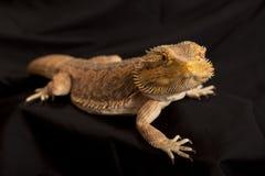 Lagarto de dragón barbudo 2 Imagenes de archivo