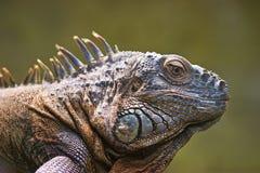 Lagarto de la iguana imagenes de archivo
