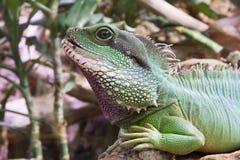 Lagarto de la iguana Foto de archivo libre de regalías