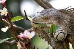 Lagarto de la iguana que come la flor del árbol de Plumaria Fotografía de archivo
