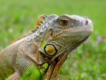 Lagarto de la iguana - reptil imagen de archivo libre de regalías