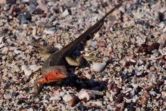 Lagarto de la lava de las Islas Gal3apagos Foto de archivo libre de regalías