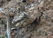 Lagarto de la roca Fotografía de archivo libre de regalías