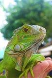 Lagarto de la salamandra Imágenes de archivo libres de regalías