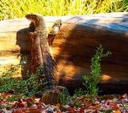 Lagarto de monitor de agua que miente en tocón de árbol foto de archivo