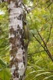Lagarto de monitor del mangle en árbol Imagenes de archivo
