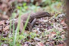 Lagarto de monitor en bosque Foto de archivo libre de regalías
